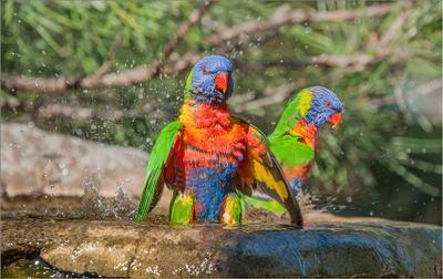 Купания красного меня Попугай купаться