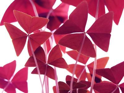 Мадам Баттерфляй цветок бабочка Кислица треугольная (О. triangularis)