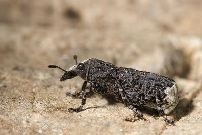 Укороченный вариант... жук долгоносик усы