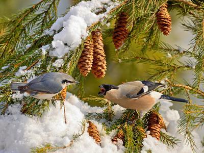 Ссора природа птицы фотоохота снегирь поползень