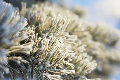 Иркутские морозы Сосна ветка природа мороз зима холод замороженный