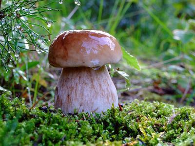 После дождя... белый гриб березовый боровик лес природа дождь капли вода