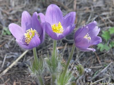 Подснежники Подснежники, весна, цветы