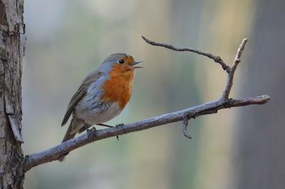 Весенняя малиновка птица малиновка зарянка