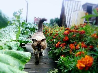 Сибирский Кузя. кот цветы капуста