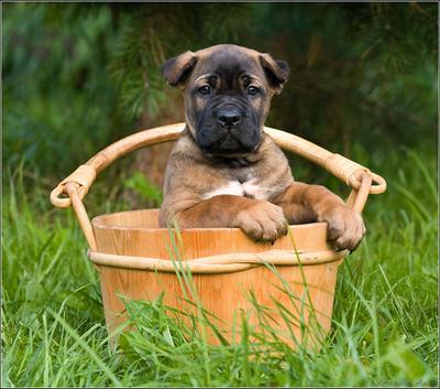 щен в тазу кане корсо щенок