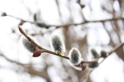 Весна весна верба макро природа