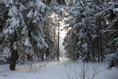 Зимний лес. лес зима