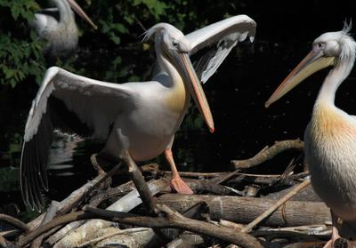А я вчера во-о-от такую щуку поймал... пеликан