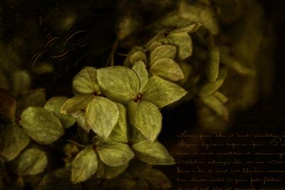 Гортензия 2 Цветы гортензии
