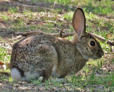 Кролик Нутталла кролик нутталла животное nuttall's mountain cottontail rabbit mammal sylvilagus nuttallii