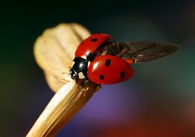 В полет макро божья коровка насекомые