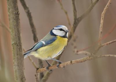 Из зарослей птицы весна лазоревка