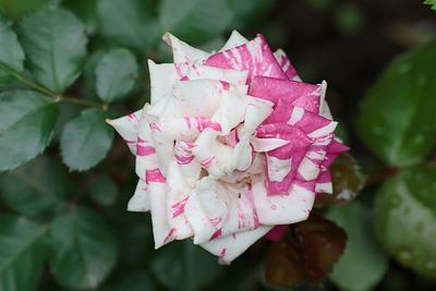 Роза Роза фотография Сергей Михайлов природа цветы