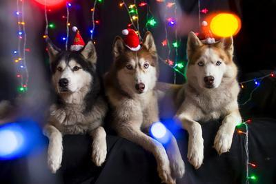 Новогоднее хаски собаки новый год