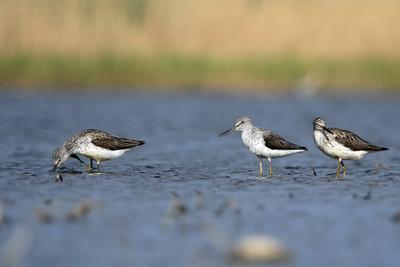 Трое в луже не считая фотографа .... Перевозчик Actitis hypoleucos птица природа лужа