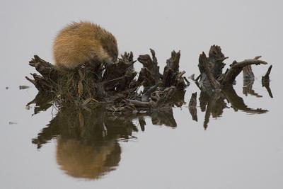 Дремлющая ондатра  Ондатра, осень, коряга, болото