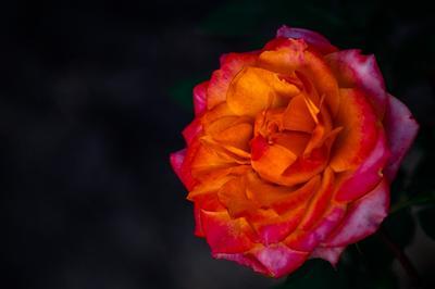 Природный огонь. цветы растения роза природа лето