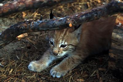 В Челябинском зоопарке пополнение. кошки рысенок