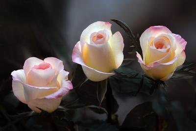 Трио в розовом