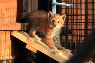 В Челябинском зоопарке пополнение. Кошки. рысенок