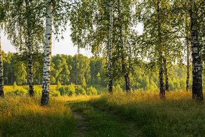 Березы природа пейзаж лето.вечер березы татарстан новочувашский