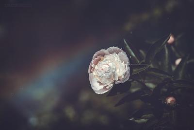 ***Мой сад. Пион и радуга. Сад Лето Цветы Пион Радуга