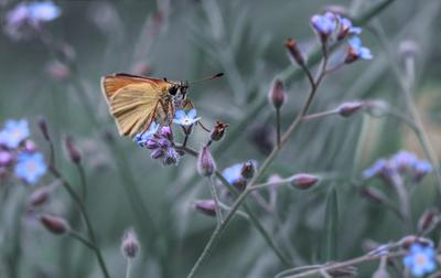 Незабудки, незабудки бабочка незабудка толстоголовка