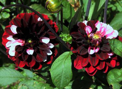 Георгина/georgina цветы природа георгина