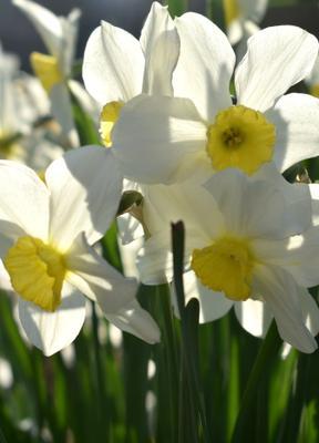 Любимые цветы! весна апрель нарциссы