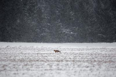 Одиночество природа зима снег лиса