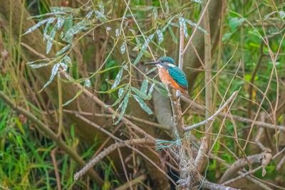Зимородок. птица дикая природа животное ветвь дикий красный черный дерево зеленый птичий красочный лес крыло красивый цвет перо коричневый