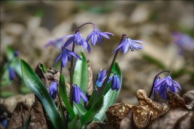 Веснянки. весна цветы макро