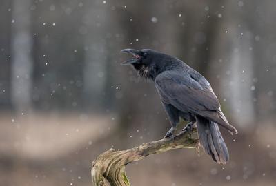 Песня о весне ворон птицы