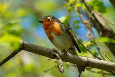 Малиновка малиновки птицы весна