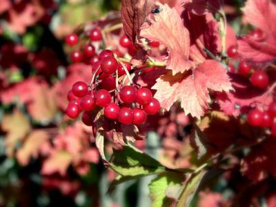 Калина красная Калина ягода гроздь