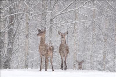 Let it snow, let it snow, let it snow ... снег олень зима