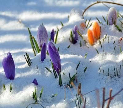 Капризы погоды цветы крокусы снег весна цветение