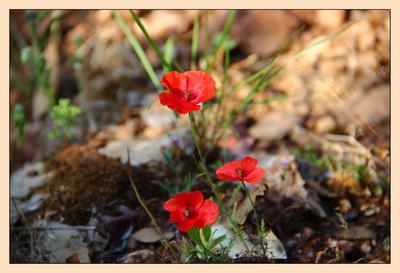 Майские огоньки маки цветы Израиль
