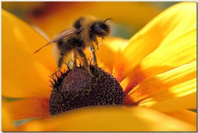 Мохнатый шмель! Голодный... Цветы, пчела, макро, пыльца