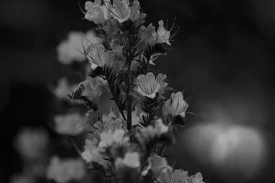 Цветы ночью. Без света, без цвета.