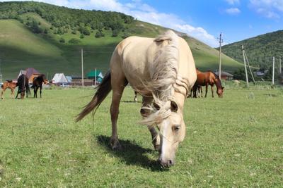 ***башкирские лошади лошадь поле трава водохранилище горы лето зеленый голубой грива шелк дикий