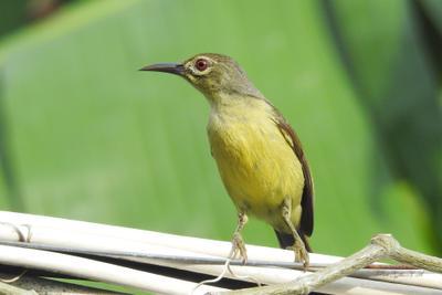 Коричневогорлая нектарница Фотоохота птицы Таиланд нектарница