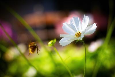 Цветок и пчёлкина жопка макро цветок пчела шмель