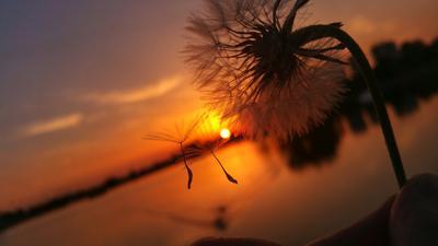 Закат... Закат вода озеро солнце цветок одуванчик вечер