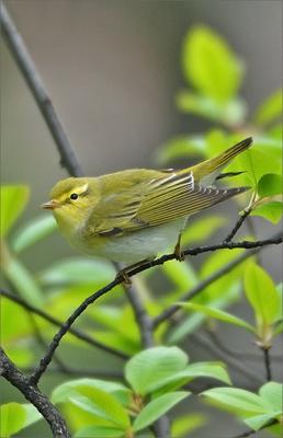 Пеночка-трещотка птичка птица Польша Пеночка-трещотка зеленая весна Бытом