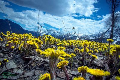 ***одуванчики и горы цветы горы одуванчики