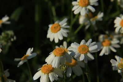 Утро ромашек Ромашки роса утро цветы