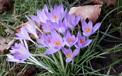 Семейка. весна крокусы цветы сиреневое