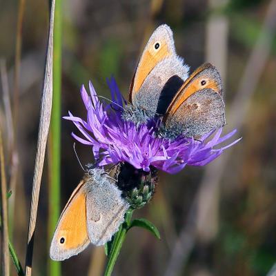 Сенница обыкновенная или памфил (Coenonympha pamphilus (Linnaeus, 1758))
